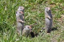 4 Erdhörnchen by Rainer Grosskopf