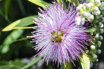 Puderquastenstrauch - Calliandra tergemina - Brasilien by Dieter  Meyer