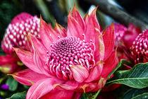 Waratah Protea - Teleopea speciosissima inflorescence  - Australien by Dieter  Meyer