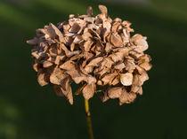 welke Blume von fotolos