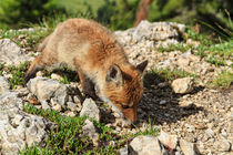 Red Fox cub von Antonio Scarpi