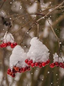 Snowberries - Schneebeeren von Chris Berger