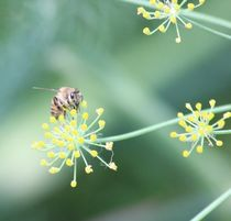 Bee and the Fennel von Raquel Cáceres Melo