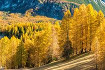 GOLDEN LARCHES by hollandphoto