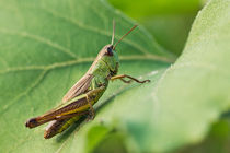 Short-winged Green Grasshopper On A Leaf by Cristina Ion