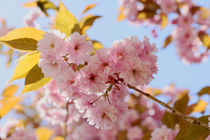 Cherry Blossoms von nature-spirit