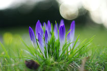 Crocus von nature-spirit