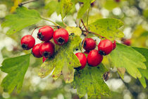 Common Hawthorn Fruits by Cristina Ion