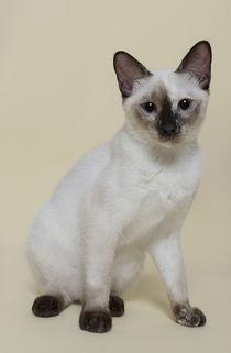 Thai Kitten / 6 von Heidi Bollich