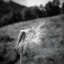 the wind dandelion by Mauricio Araújo
