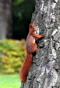 Eichhörnchen by Edmond Marinkovic