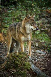 Wolf von jazzlight