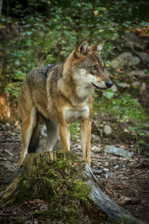 Wolf by jazzlight