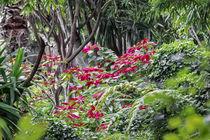 Weihnachtsstern Strauch - Euphorbia pulcherrima - Südamerika by Dieter  Meyer