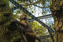 Hamadryas baboon by Fabio Santos