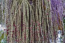 Fruchtstand der Bangalowpalme - Archontophoenix cunninghamiana - Australien by Dieter  Meyer