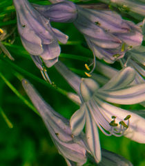 Delicate Flowers by Raquel Cáceres Melo