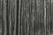 Wald von kiwar
