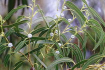 Eukalyptus  - Eucalyptus globulus LABILLl - Australien by Dieter  Meyer