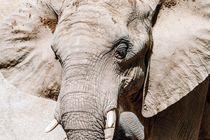 Wild African Elephant Portrait von Radu Bercan
