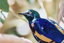 Golden Breasted Starling Bird Portrait by Radu Bercan