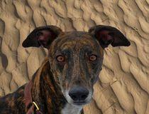 Windhund in der Wüste von kattobello