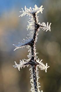 Pflanzenteile im Winter - Stachel by Bernhard Kaiser