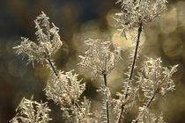 Pflanzenteile im Winter - Blütenstand by Bernhard Kaiser