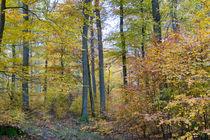 Herbst im Buchenwald by Ronald Nickel