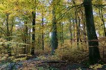Buchenwald im Herbstkleid by Ronald Nickel
