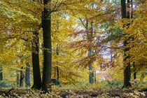 Strahlende Farben im Herbstwald by Ronald Nickel