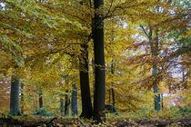 Mächtige Buchen im Herbst by Ronald Nickel