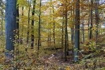 Goldener Oktober im Laubwald by Ronald Nickel