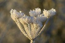 Pflanzenteile im Winter - Blütenstand 2 by Bernhard Kaiser