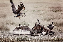 Vulture by Kiara Black