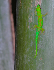 Green gecko on the seychelles island by stephiii