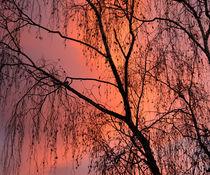 birch fire von Sylvia Seibl