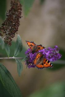 Schmetterlinge im Flieder by fotografiejanaschaefer