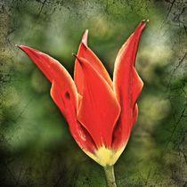 Retro Tulpenblüte by kattobello