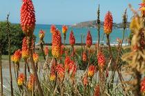 Fackellilien an der Küste der Südinsel Neuseelands von stephiii