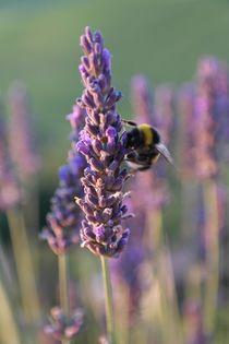 Biene auf Lavendel von stephiii
