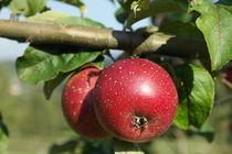 Apfel von stephiii
