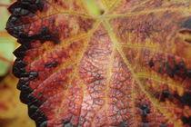 Blatt einer Weinrebe im Herbst von stephiii