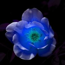 Blue Rose in the Night by kattobello