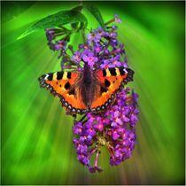 Fuchs Schmetterling im Sonnenstrahl von kattobello