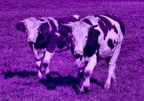 Lila Kühe von kattobello