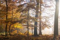 Die Sonne verdrängt den Nebel im Herbstwald by Ronald Nickel