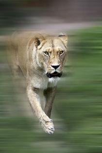 Lioness von nature-spirit
