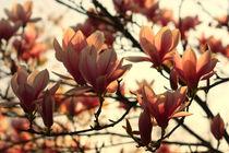 Tulip Magnolia von nature-spirit