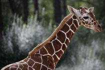 Giraffe by nature-spirit